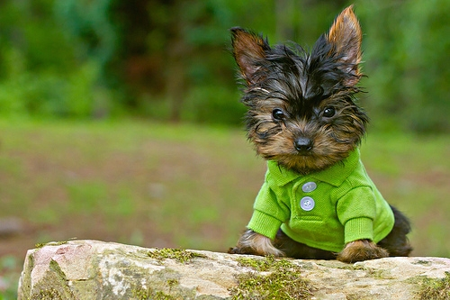Nice wallpapers Yorkshire Terrier 500x333px
