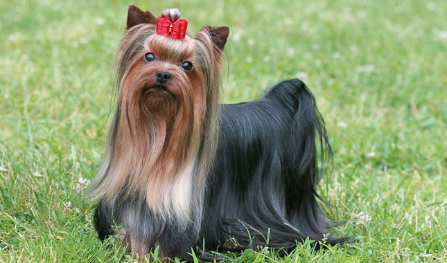 HQ Yorkshire Terrier Wallpapers | File 65.65Kb
