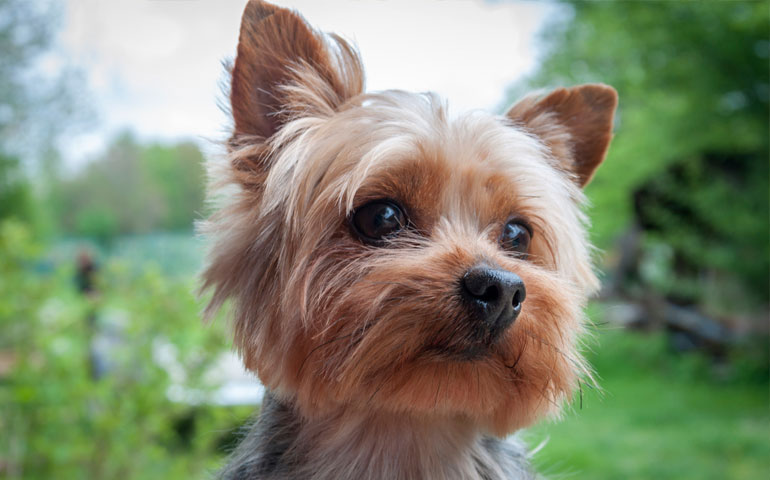 HD Quality Wallpaper | Collection: Animal, 770x480 Yorkshire Terrier