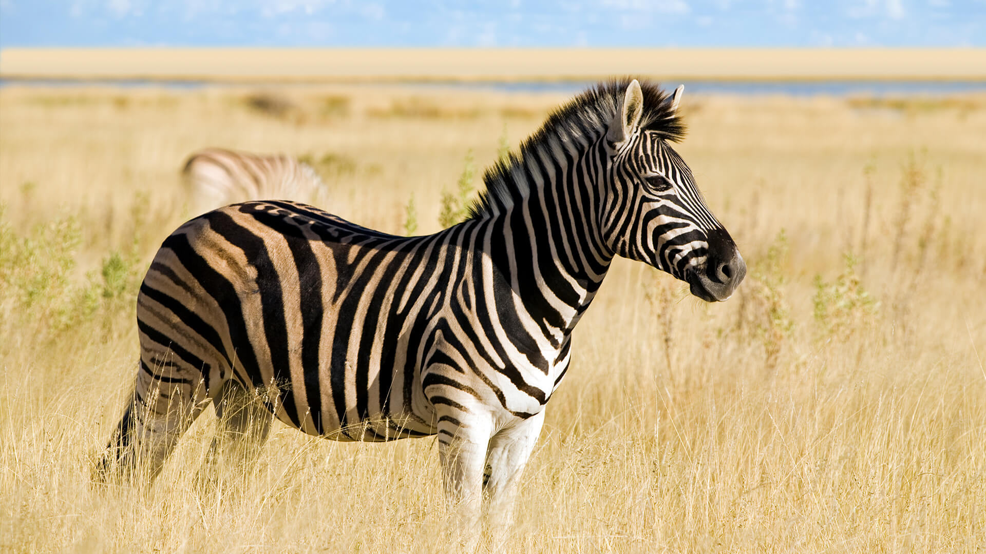 HQ Zebra Wallpapers | File 331.2Kb