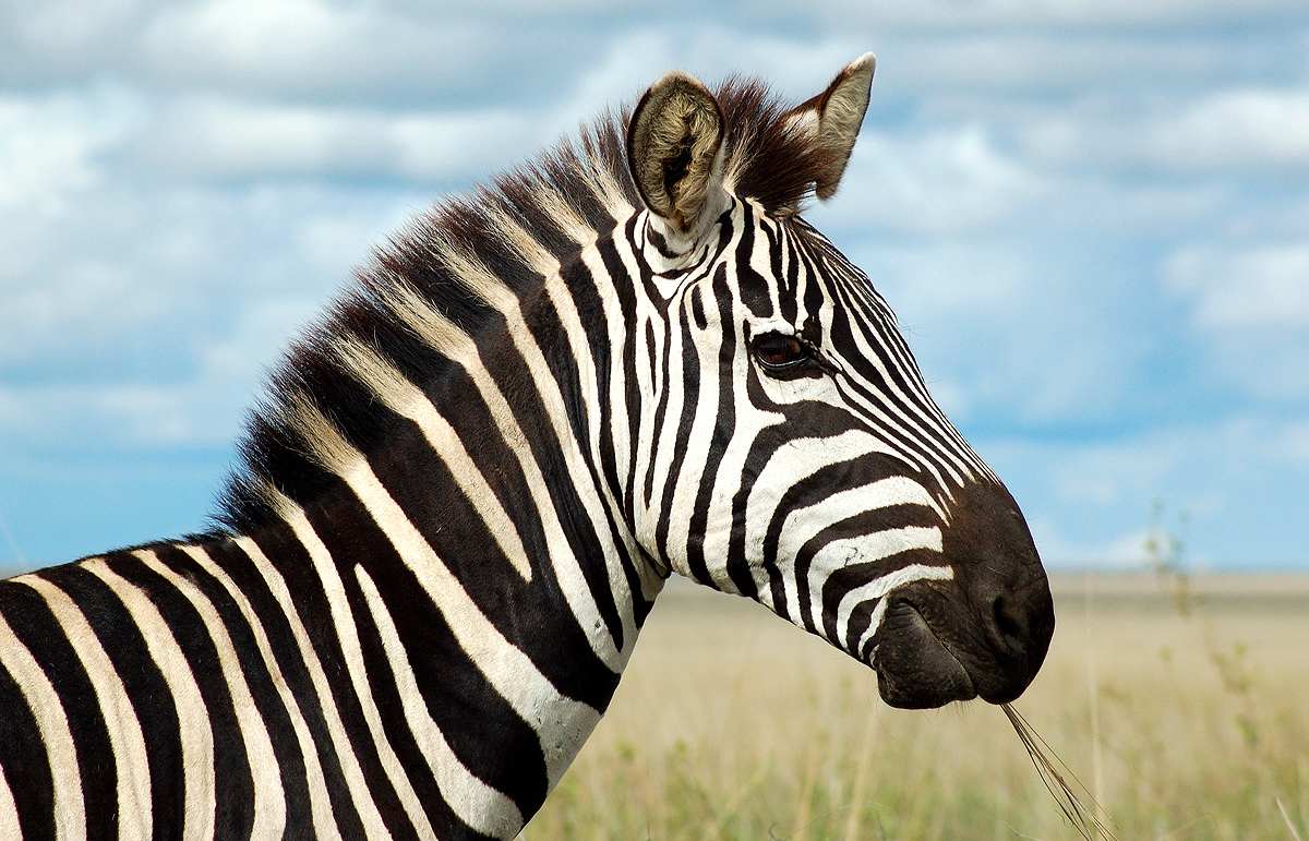 HD Quality Wallpaper | Collection: Animal, 1200x771 Zebra