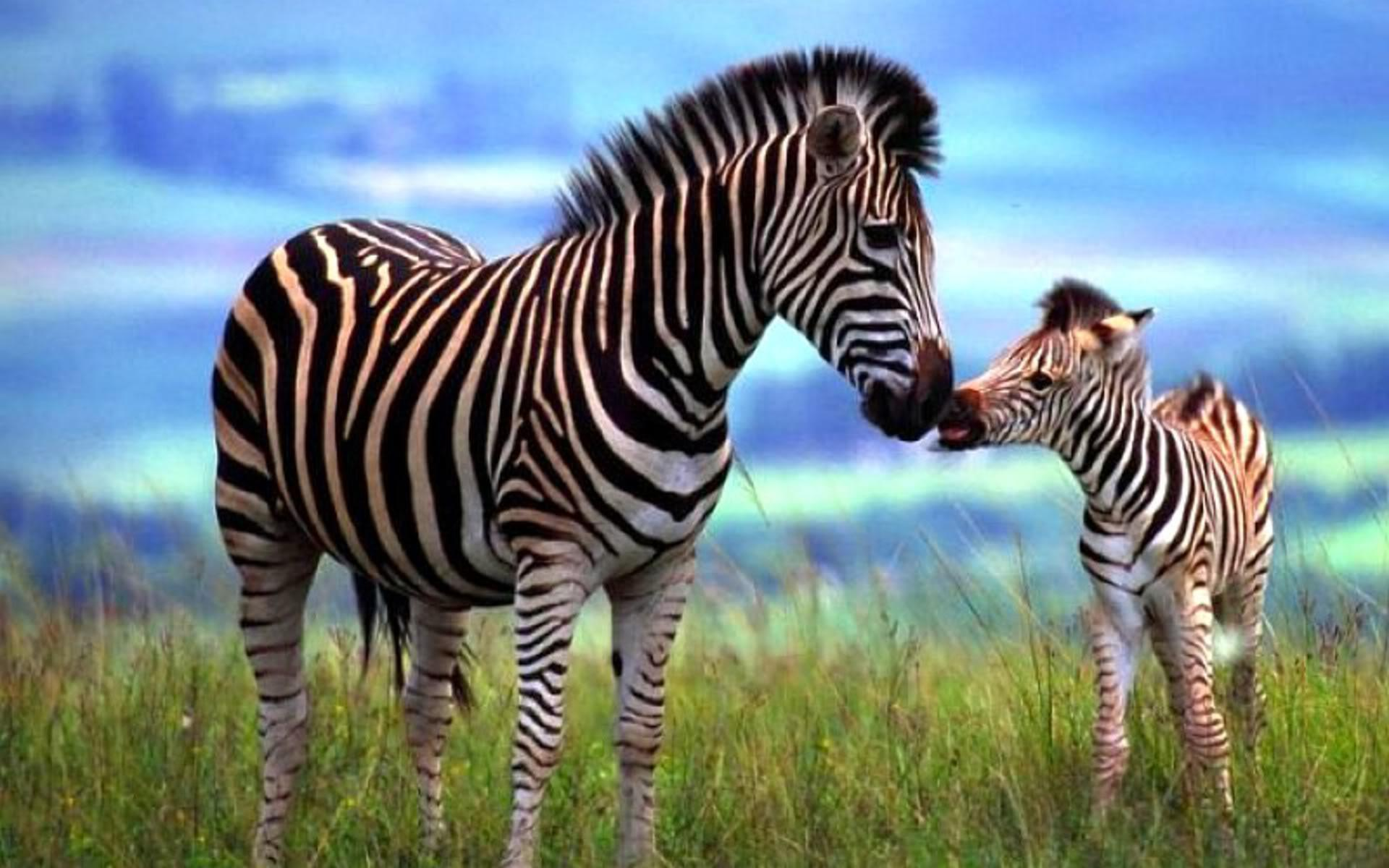 Nice Images Collection: Zebra Desktop Wallpapers