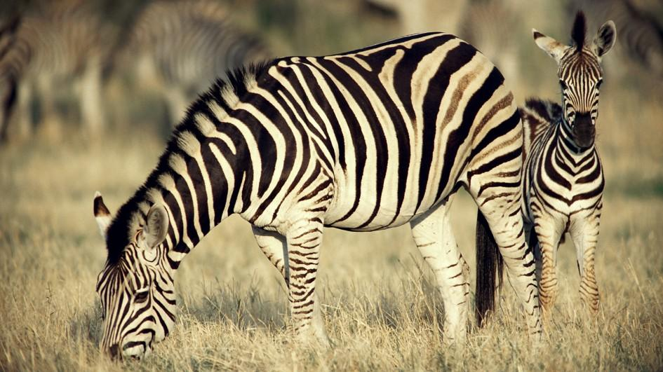 Zebra Backgrounds on Wallpapers Vista