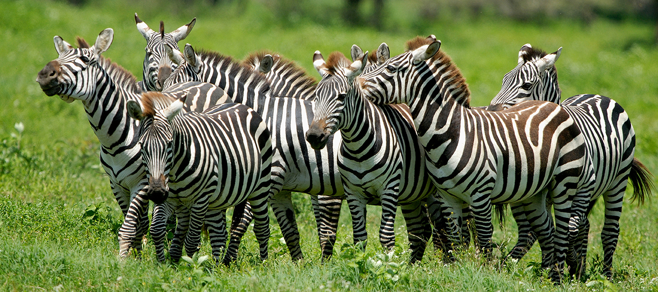 Amazing Zebra Pictures & Backgrounds