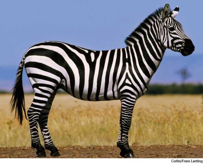 HD Quality Wallpaper | Collection: Animal, 703x570 Zebra