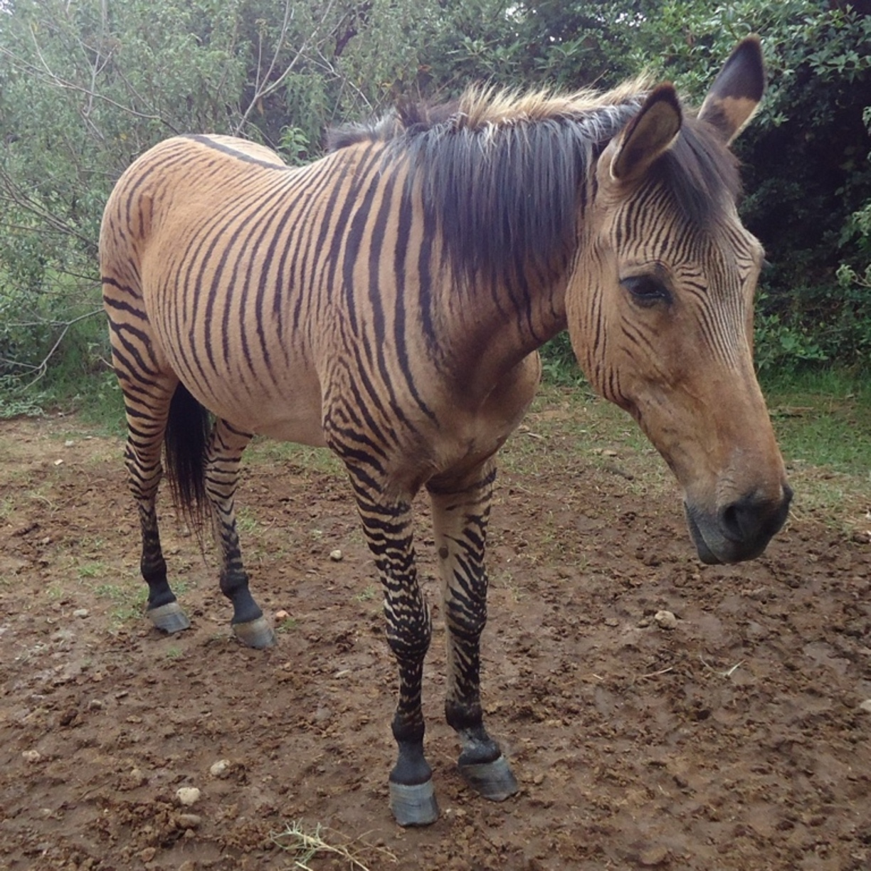 Nice wallpapers Zebroid 1224x1224px