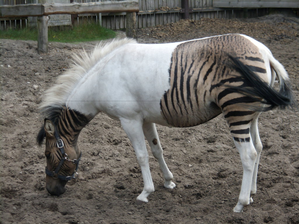 Zebroid Backgrounds on Wallpapers Vista