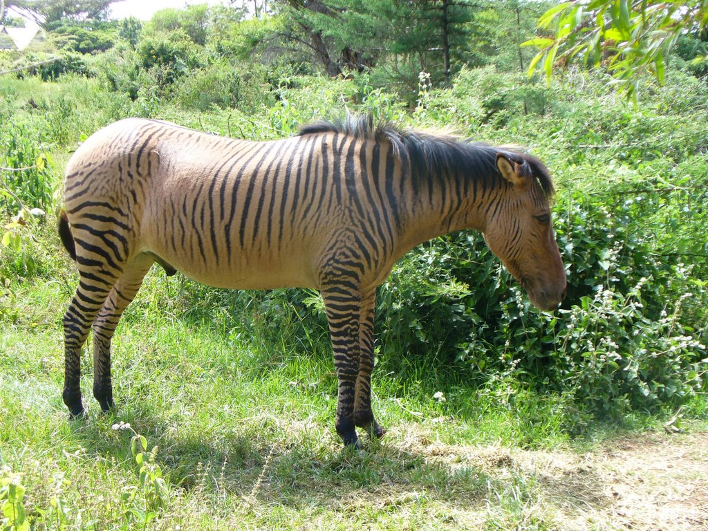 Amazing Zebroid Pictures & Backgrounds