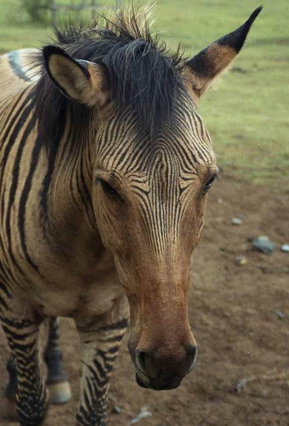 Zebroid Pics, Animal Collection