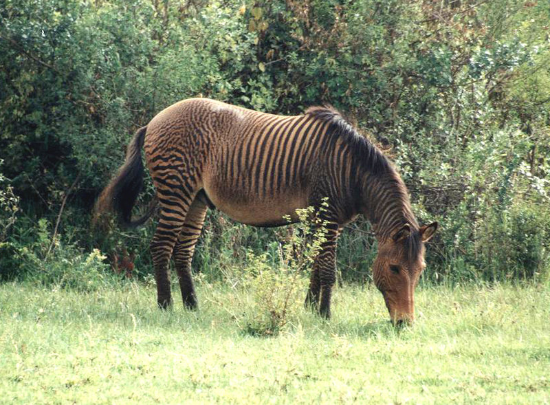 HQ Zebroid Wallpapers | File 181.87Kb