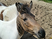 HD Quality Wallpaper | Collection: Animal, 220x165 Zebroid