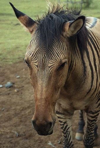HQ Zebroid Wallpapers | File 37.82Kb