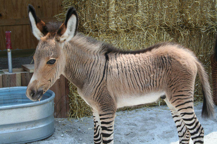 HQ Zebroid Wallpapers | File 142.27Kb