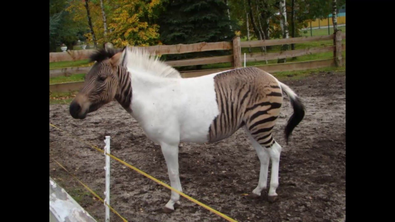 Zebroid High Quality Background on Wallpapers Vista