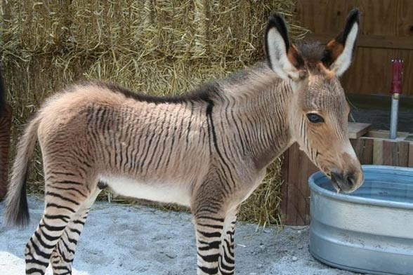 Nice wallpapers Zebroid 588x392px