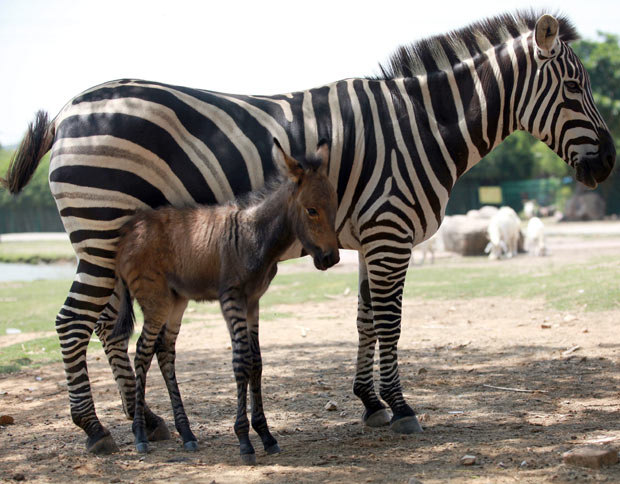 HQ Zebroid Wallpapers | File 80.89Kb