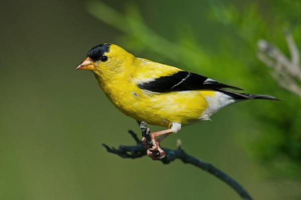 preview Goldfinch