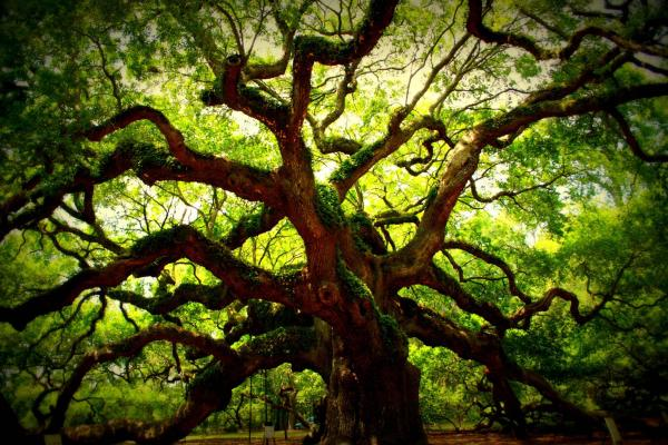 preview Angel Oak Tree