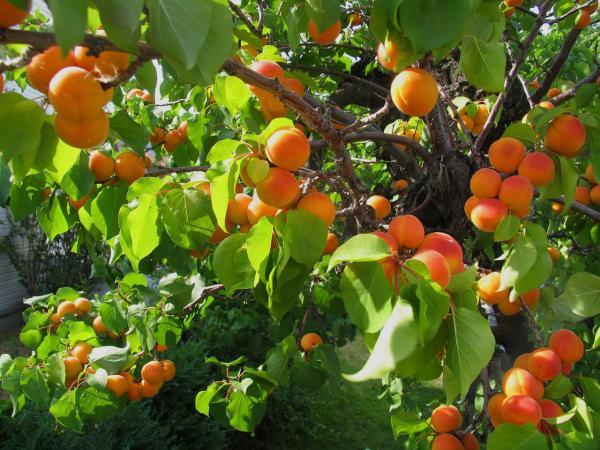 preview Apricot Tree
