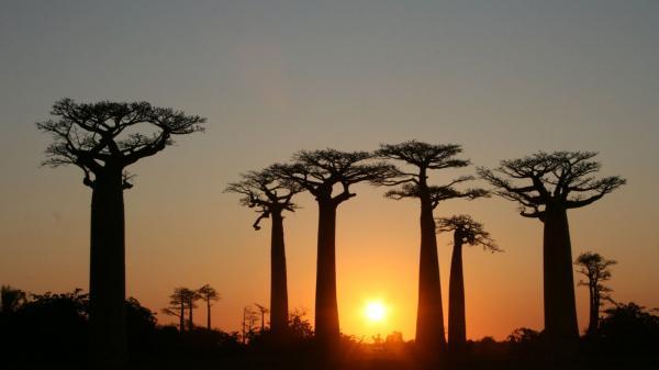 preview Baobab Tree