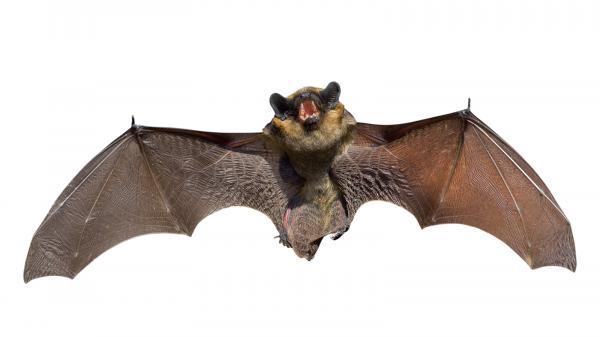 preview Bat