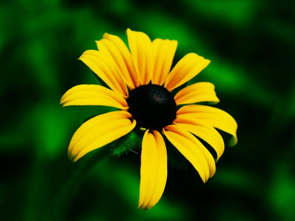 preview Black-Eyed Susan