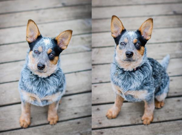 preview Blue Heelers
