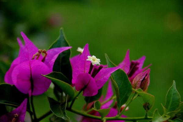 preview Bougainvillea