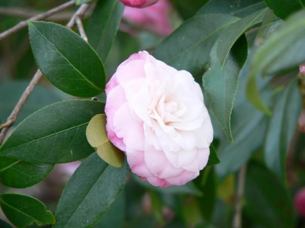 preview Camellia