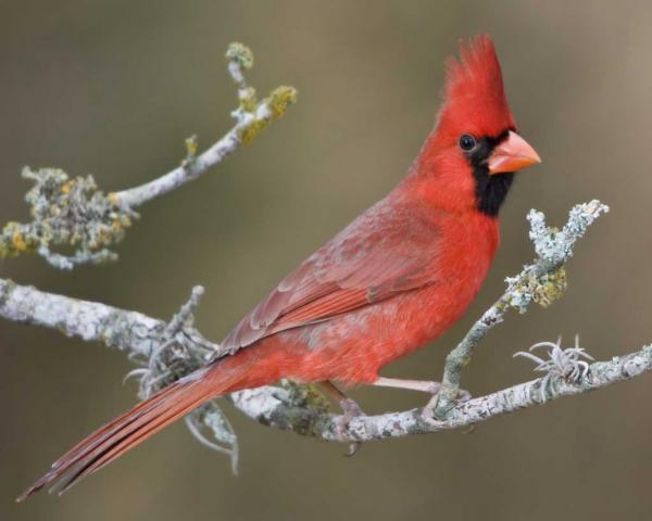 preview Northern Cardinal