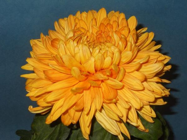 preview Chrysanthemum