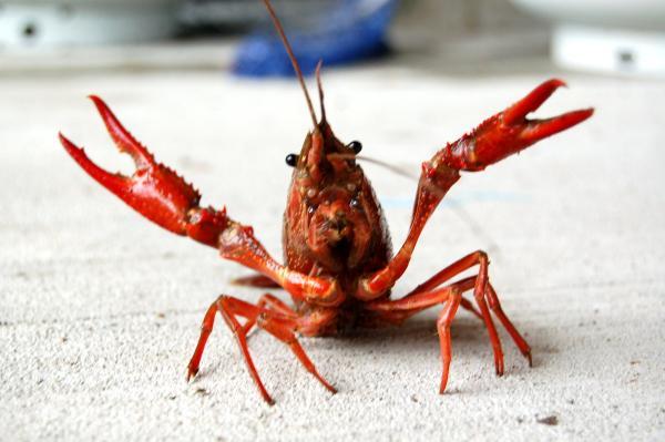 preview Crawfish