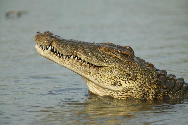 preview Crocodile