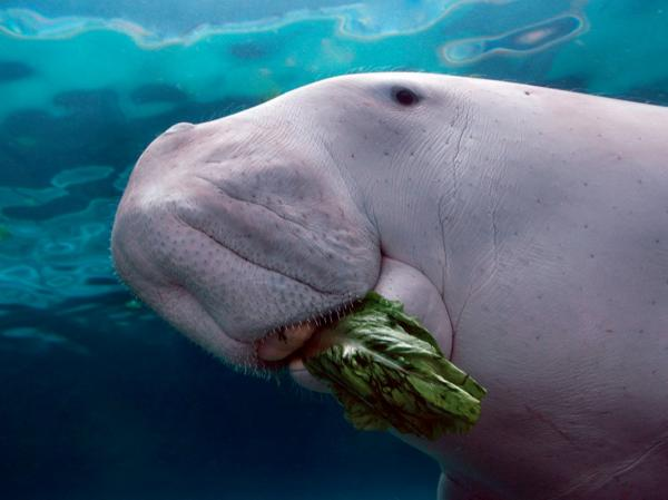 preview Dugong