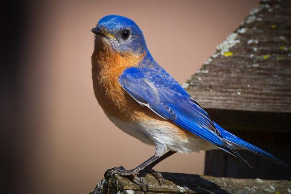 preview Eastern Bluebird