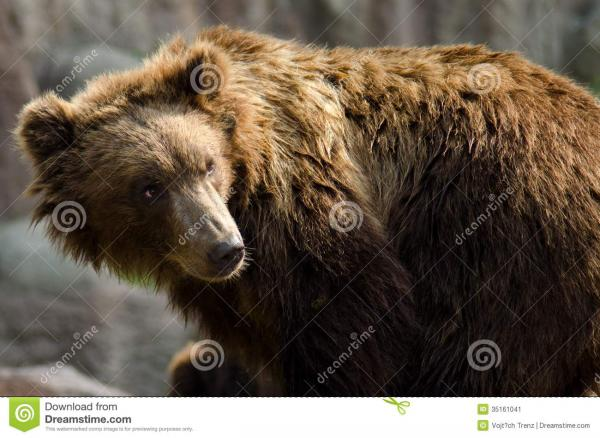 preview Eastern Brown Bear