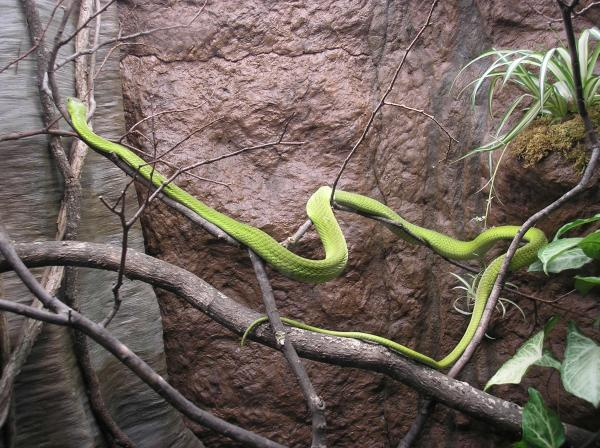 preview Eastern Green Mamba