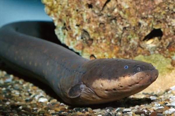 preview Eels