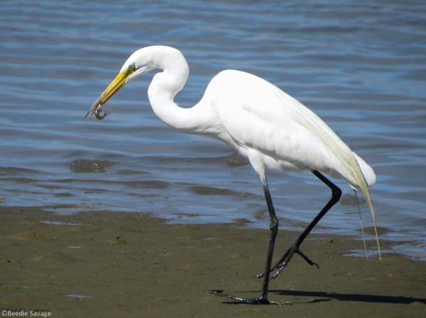 preview Egret