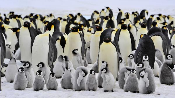 preview Emperor Penguin