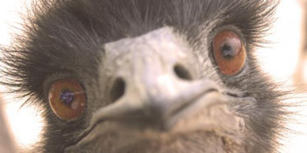 preview Emu