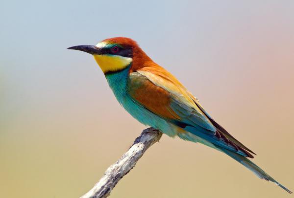 preview European Bee-eater