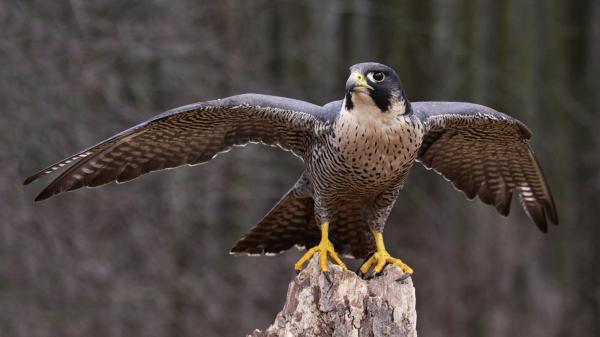 preview Falcon