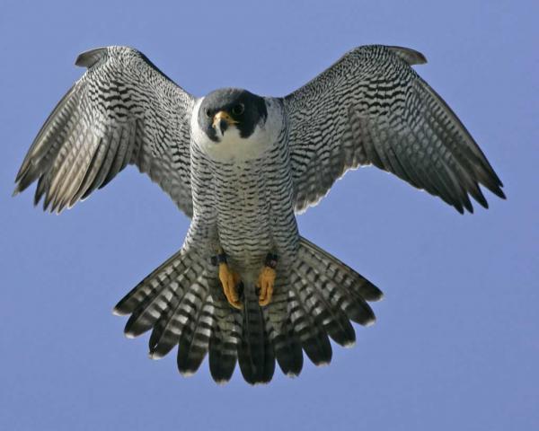 preview Peregrine Falcon
