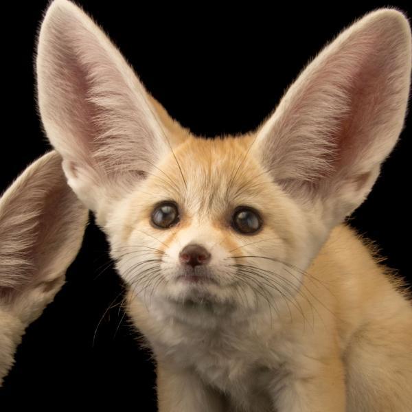 preview Fennec Fox