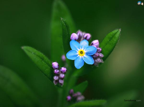 preview Forget-Me-Not