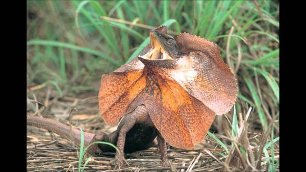 preview Frilled-neck Lizard