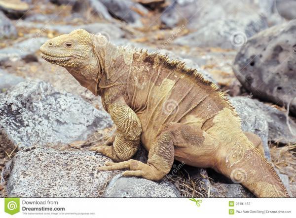preview Galapagos Land Iguana