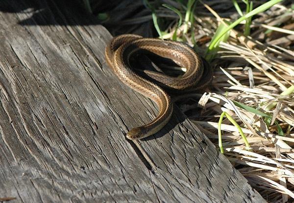 preview Garter Snake