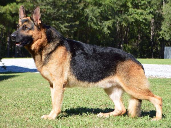 preview German Shepherd